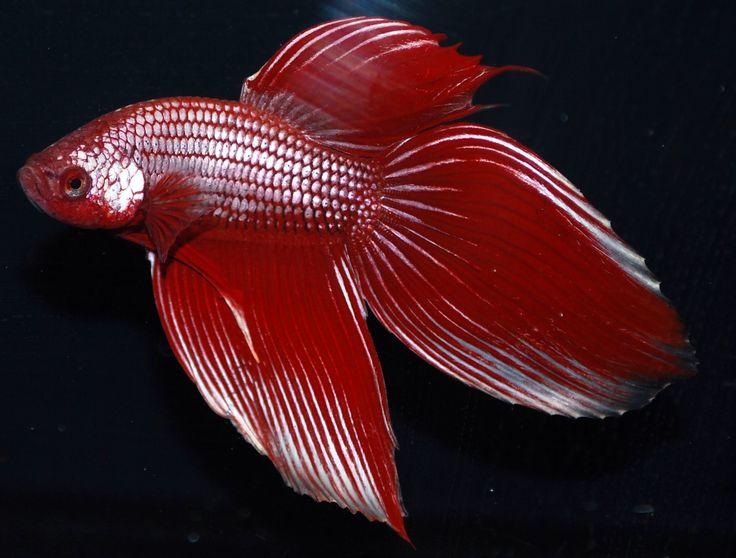 98 best betta fish images on pinterest betta marine for Betta fish life