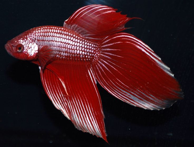 17 best images about betta fish on pinterest most for Dragon scale betta fish