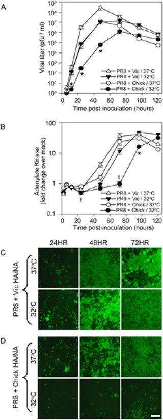 PLOS Pathogens: Avian Influenza Virus Glycoproteins Restrict Virus Replication and Spread through Human Airway Epithelium at Temperatures of the Proximal Airways