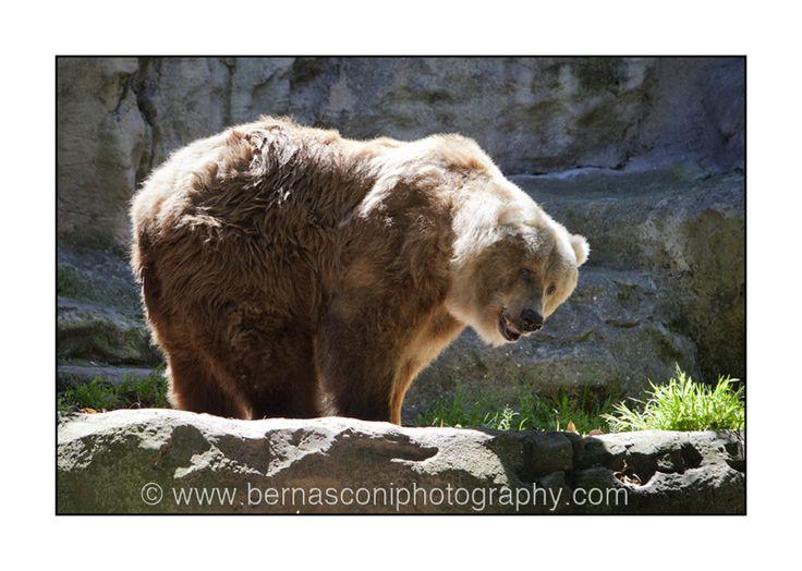 Big brown grizzly bear by Christine Bernasconi www.bernasconiphotography.com