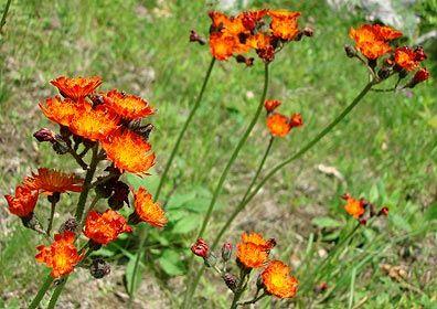 Devil's Paintbrush Also known as Orange Hawkweed: