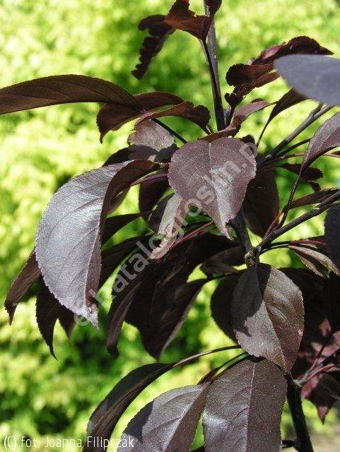 śliwa wiśniowa 'Pissardii' - Prunus cerasifera 'Pissardii' | Katalog roślin - e-katalog roślin