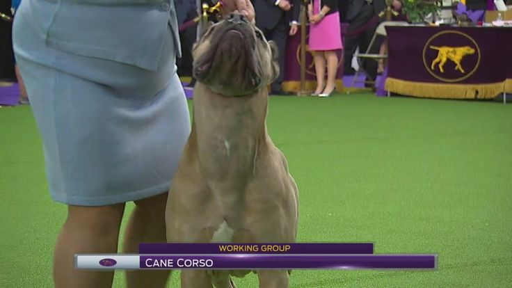 Watch Cane Corsos Breed Judging from the 2017 Westminster Kennel Club Dog Show.