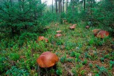Forest in Poland | ... , których w polskich lasach rośnie ponad 1000 jadalnych gatunków