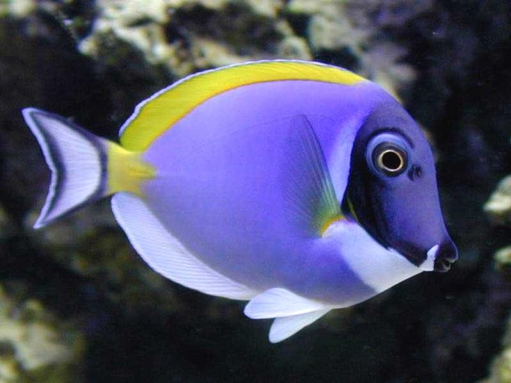 Powder purple tang salt water fish animals pinterest for Exotic saltwater fish