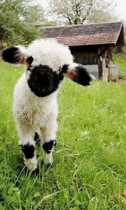 baah baah.. Baby lamb