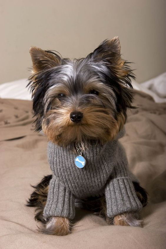 Did you take my bone? Found at:http://bit.ly/2frURkh   Found at: http://itsayorkielife.com/did-you-take-my-bone/  #Yorkie,#YorkshireTerriers,#Yorkielove,#ItsaYorkieLife