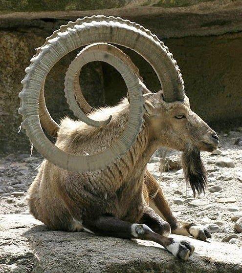 Amazing horns!                                                                                                                                                                                 More