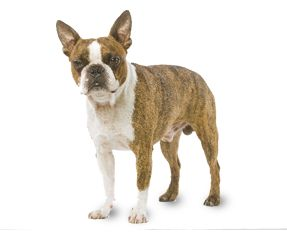 Boston Terrier | RoyalCanin
