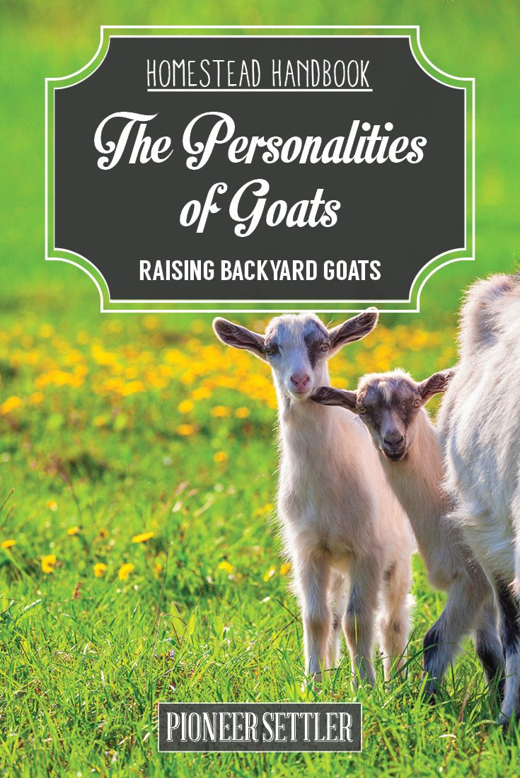 Goats Behavior | Homesteading Tips and Ideas For Livestock by Pioneer Settler at http://pioneersettler.com/goat-behavior-raising-goats/
