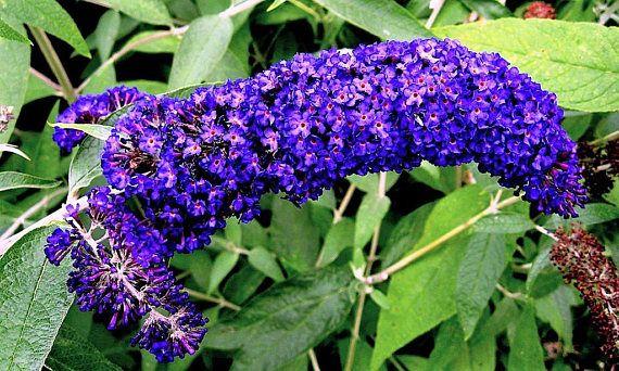 100 Mixed Colors Butterfly Bush Buddleia Davidii Flower Shrub Etsy Flower Seeds Purple Plants Butterfly Bush