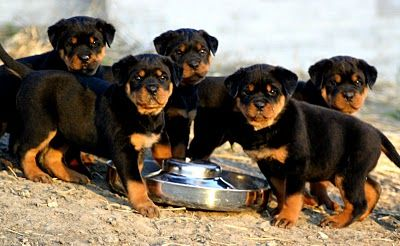 These Puppies are Cute as Hell Aren't they?