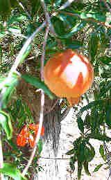 Gardening In Tucson And Phoenix: Growing Fruit, Berries, Nuts