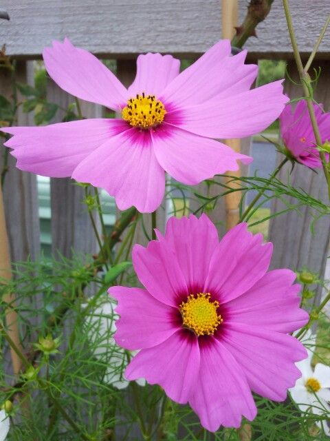 pink cosmos, self-seeded