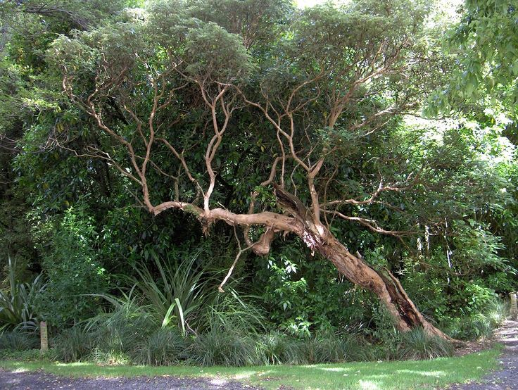 Fuchsia excorticata - the world's largest fuchsia is a NZ native gnarly tree with fantastic tan coloured papery bark and tiny pink purple flowers.