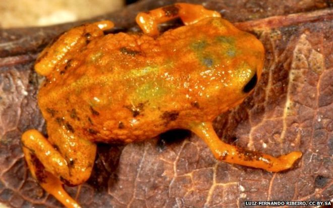 June 2015 / Seven new species of tiny frog discovered on seven different mountains in #Brazil http://bbc.in/1IgjZjy