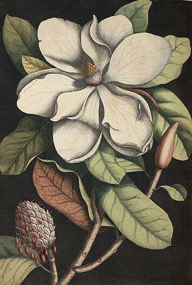 xxx ~ Southern Magnolia, from Mark Catesby, The Natural History of Carolina, 1754.
