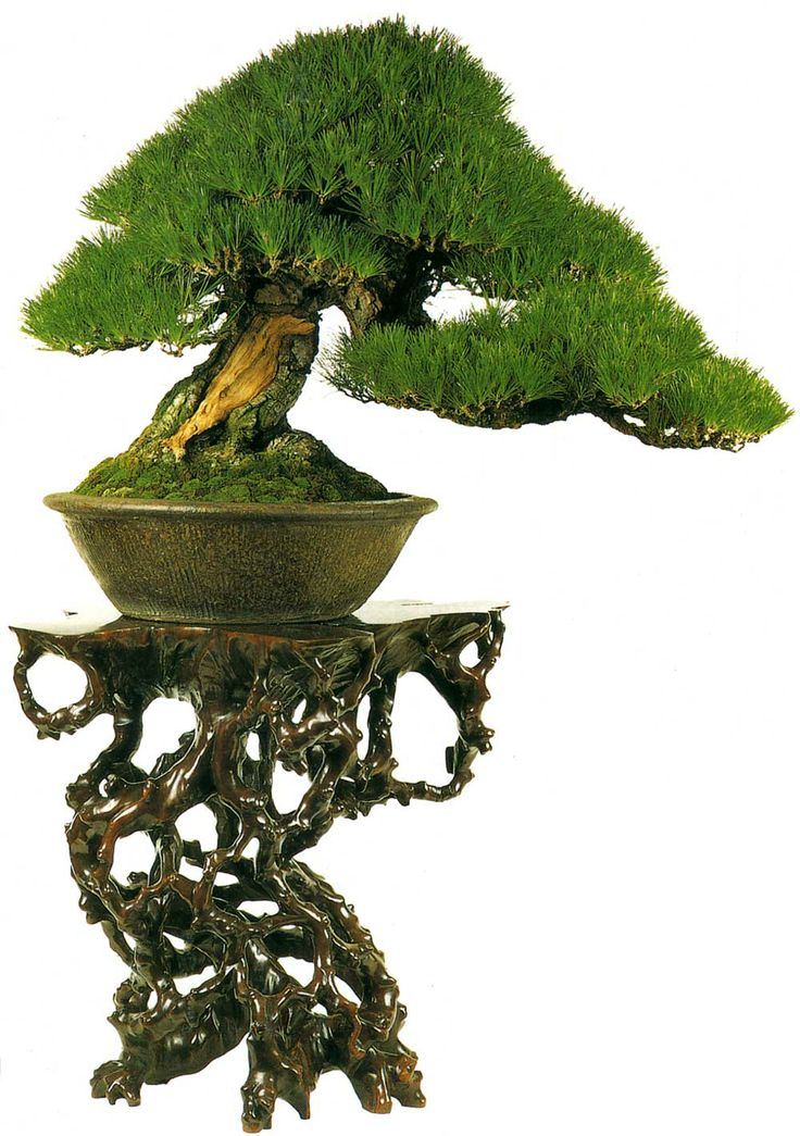 143 best images about bonsai on pinterest trees sequoia for Dove comprare bonsai