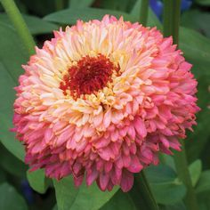 Zinnia 'Zinderella Peach' Zinnia elegans NEW!   This great new zinnia from our favorite Dutch breeder is a nod to the retro scabiosa flowered zinnias so popular in the early 1900s. He has elevated it, (pun intended) into a lovely truffle of a flower with many layered petals in cream and peach with salmon undertones. Easy to grow, it has strong stems, perfect for cutting. Some variation in color and form, but altogether charming.