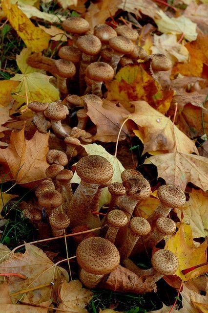 """Autumn in Poland """"opieńki"""" - Honey fungi"""