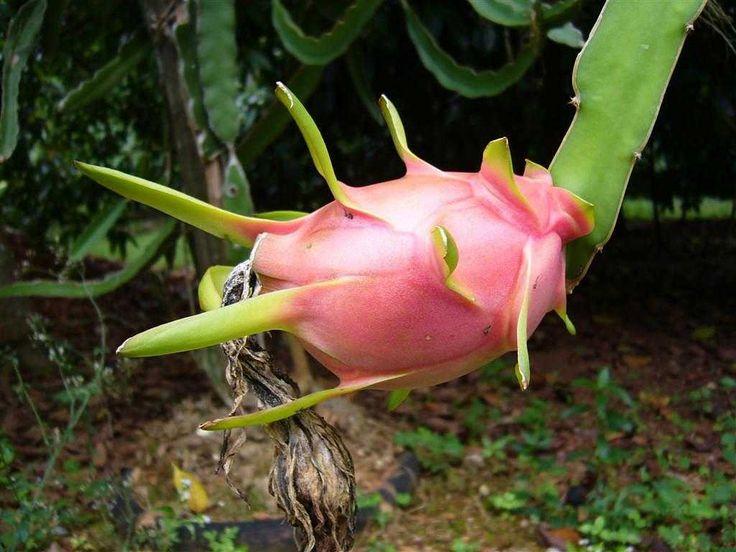 Le Pitaya est un cactus épiphyte originaire d'Amérique Centrale, son fruit frais et délicieux est connu sous le nom de fruit du dragon.