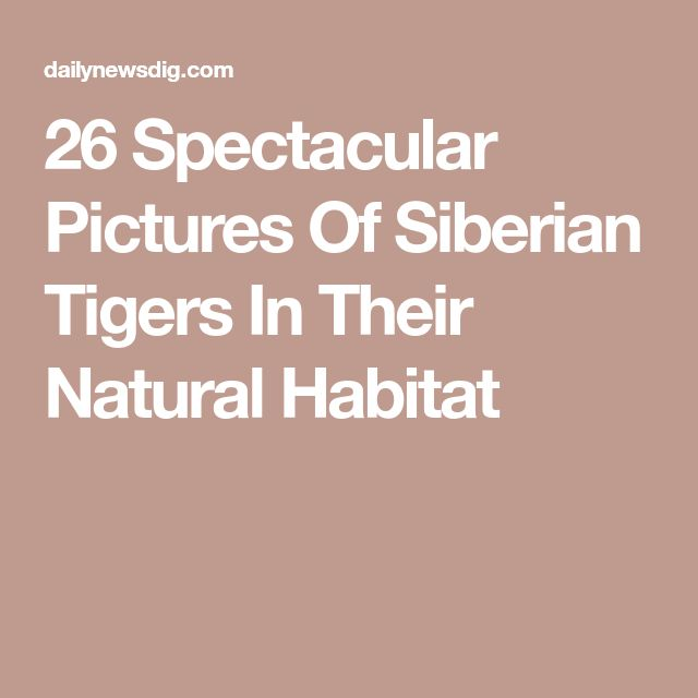 26 Spectacular Pictures Of Siberian Tigers In Their Natural Habitat