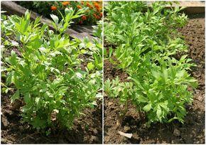 Ligurček lekársky, známy aj pod názvom vegeta či maggi je silno aromatická, liečivá a navyše celkom nenáročná bylinka. Pestujete ju vo svojej záhrade i vy?