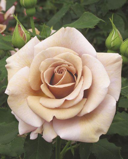 Koko Loko™   Floribunda Rose
