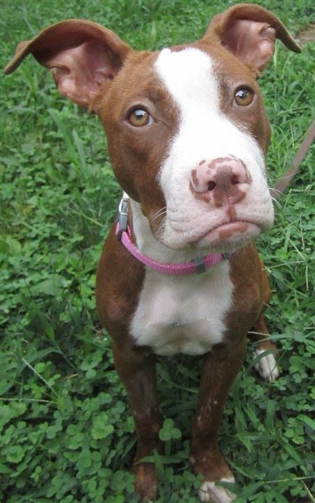 41 Best Images About Missouri Pit Bull Rescue On Pinterest