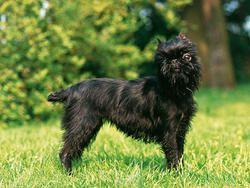 Chien Griffon belge Poil : ébouriffé, mi-long et fourni. Couleur : noir et feu, noir et rouge mélangés. Taille : 20 à 28 cm Poids : 3 à 5 kg