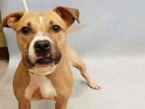 SAFE❤️❤️ 10/16/16 Manhattan Center NALA – A1090128 FEMALE, TAN / WHITE, AM PIT BULL TER MIX, 2 yrs OWNER SUR – EVALUATE, NO HOLD Reason LLORDPRIVA Intake condition EXAM REQ Intake Date 09/17/2016, From NY 10475, DueOut Date 09/17/2016,