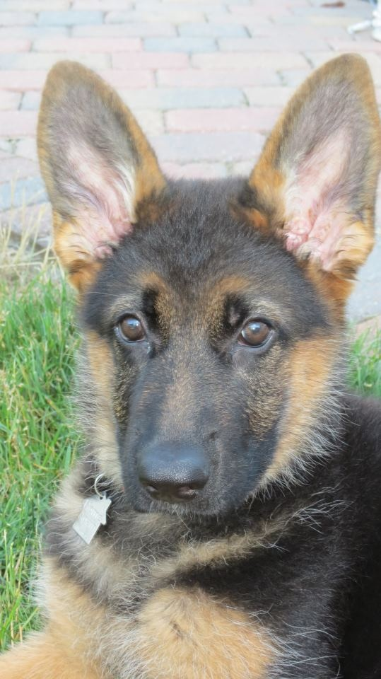 real german shepherd 65 best images about german shepards on pinterest 331