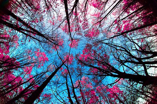 pretty: Cherries Blossoms, Colors Combos, Blue Sky, Pink Trees, Girly Things, The Farms, Beautiful, Arabic Quotes, Pink Blue