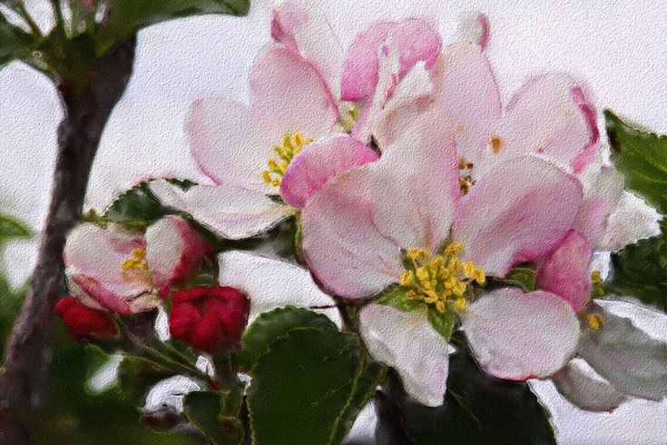 apple blossoms paintings pics - Google Search