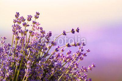 Lavender květiny kvetou letní čas