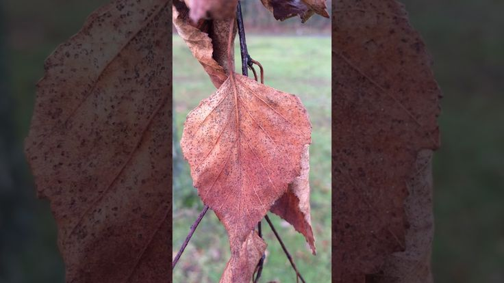 Silver Birch (Betula pendula) - leaves close up - December 2017
