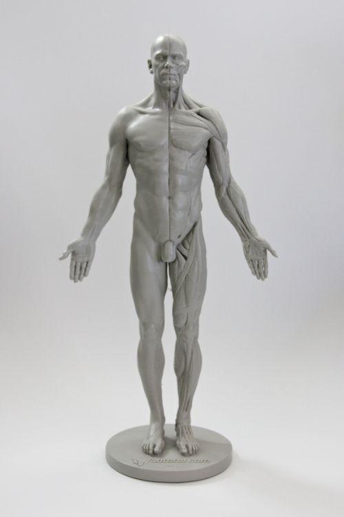 11 best anatomy images on Pinterest | Anatomieverweis, Kunst ...