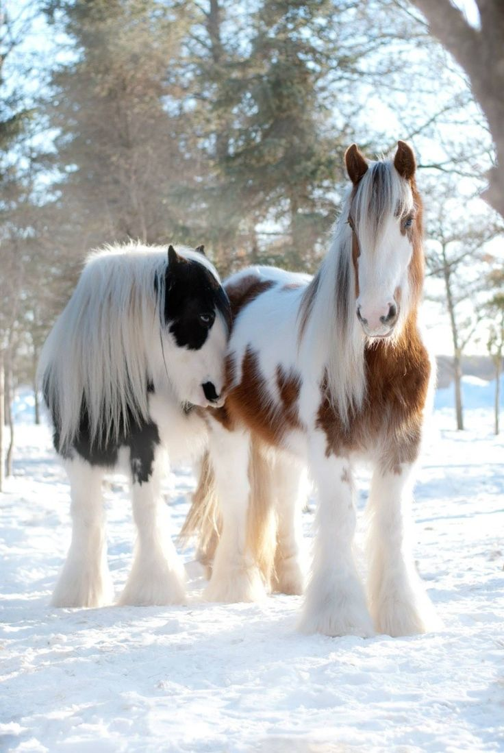 Horses in the snow - from Pine Valley Gypsy Vanner Drum Horses.