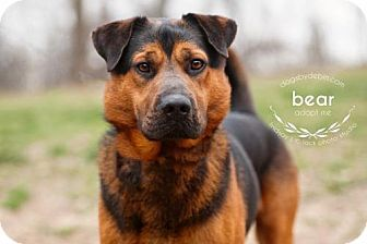 Kansas City, MO - Shar Pei/Shepherd (Unknown Type) Mix. Meet Bear, a dog for adoption. http://www.adoptapet.com/pet/17917039-kansas-city-missouri-shar-pei-mix
