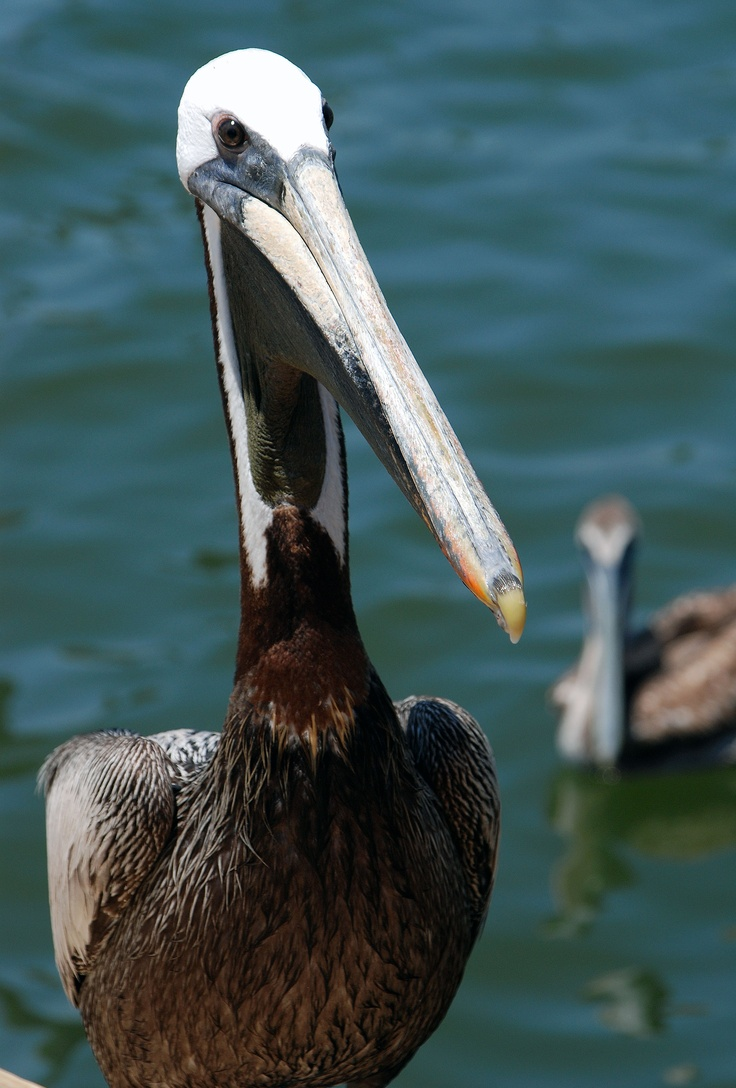 Brown Pelicans are a common sight on Ocracoke Island, especially around Silver Lake Harbor when the fishing boats come in. Will Burnham