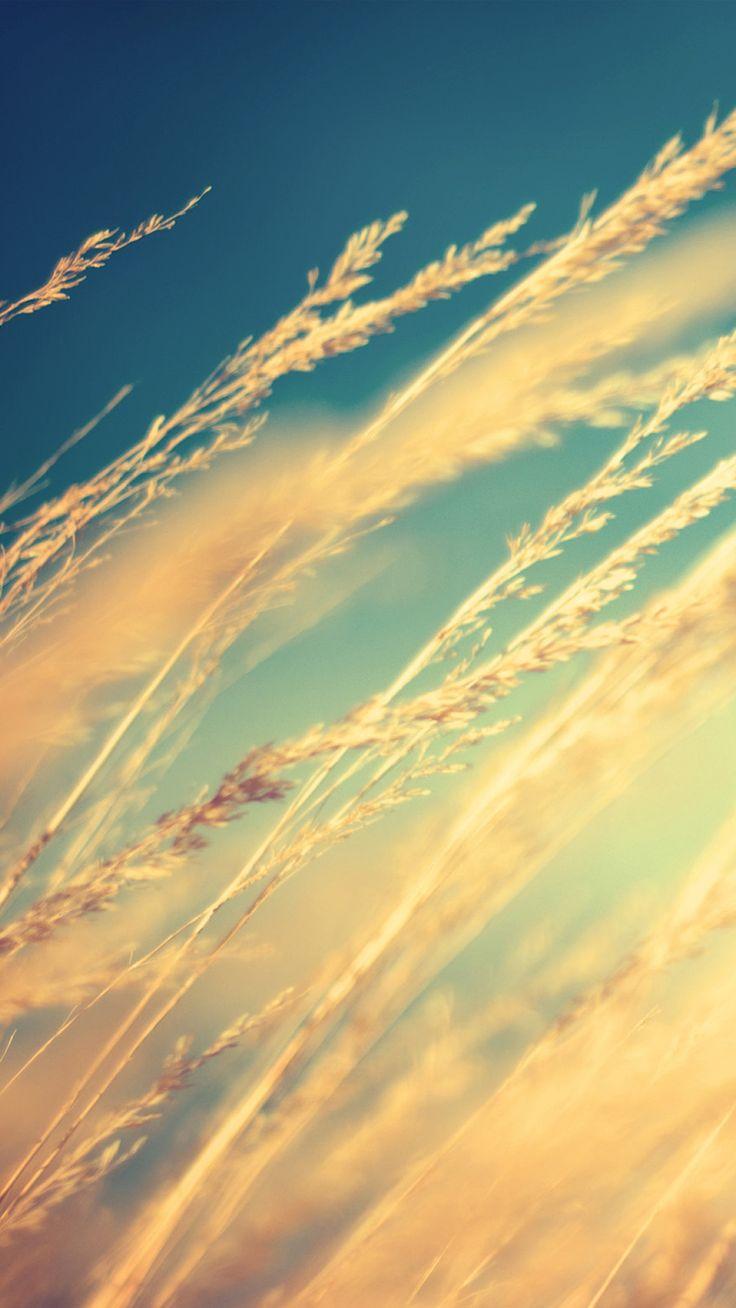 Pure Beautiful Romantic Wheat Plant Field #iPhone #6 #plus #wallpaper