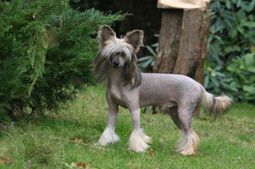 Chinesischer Schopfhund ⋆ Hunde