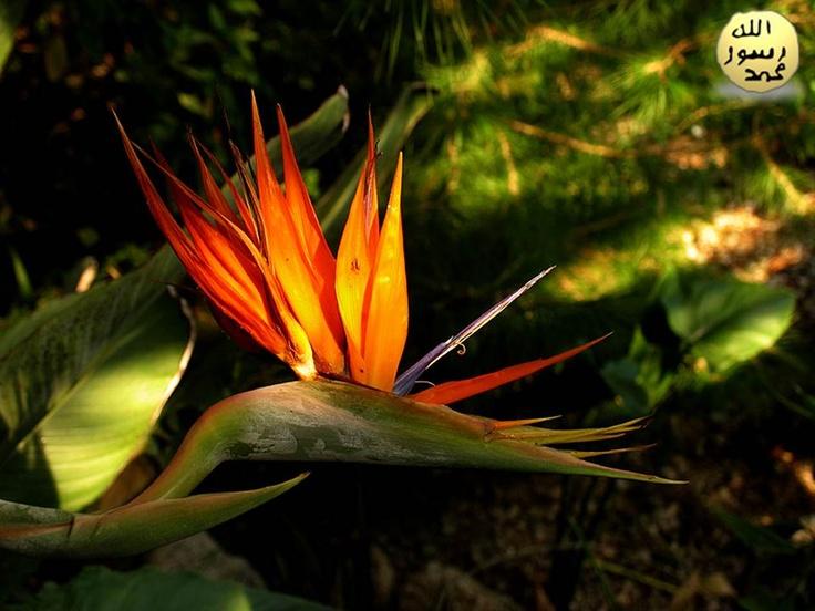 """Güney Afrika'da ise genellikle """"turna"""" çiçeği olarak bilinir. Türkiye'de Starliçe olarak adlandırıldığı da bilinmektedir."""