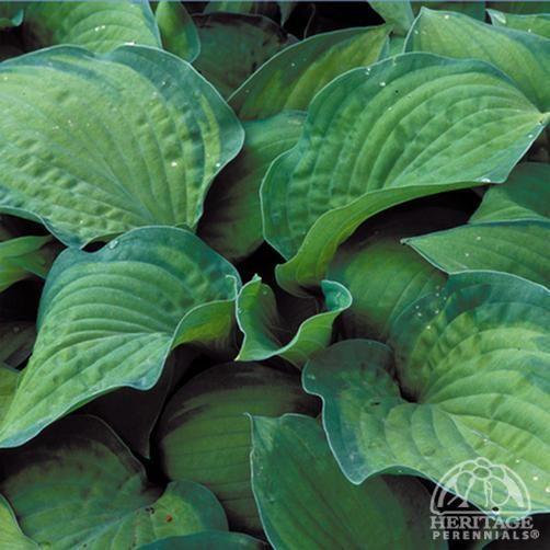 802 Best Ornamental Grasses Hostas Images On Pinterest 400 x 300