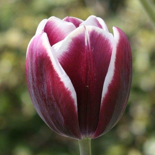 Tulipe Triomphe Fontainebleau