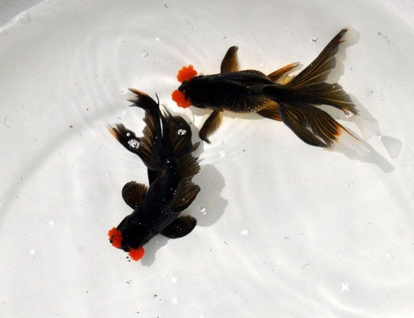93 best images about goldfish koi on pinterest for Goldfisch und koi