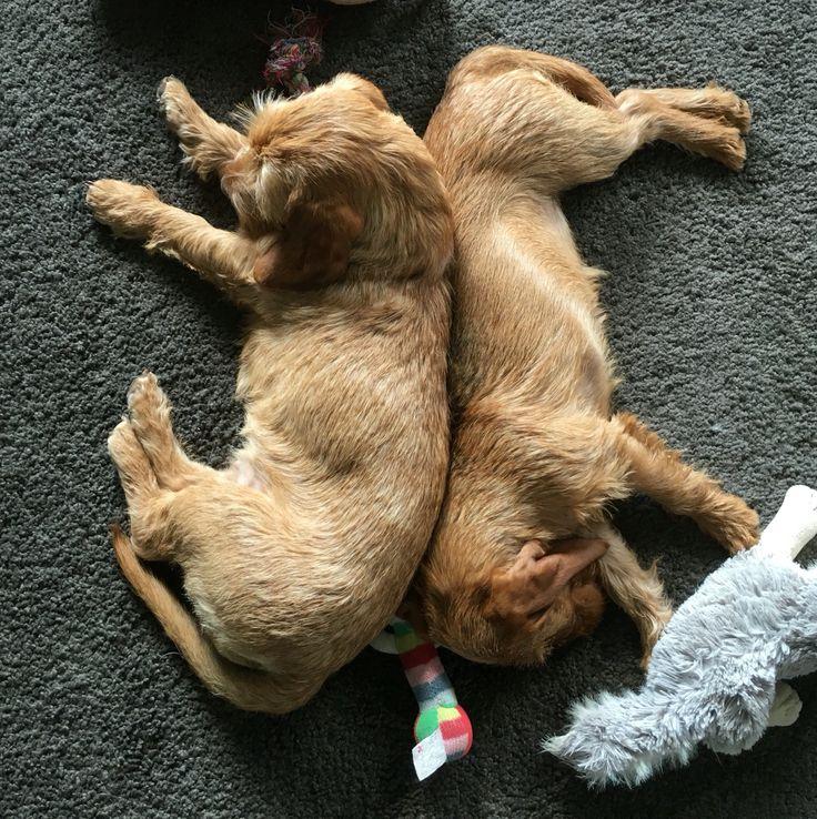 Basset Fauve de Bretagne sleeping together.