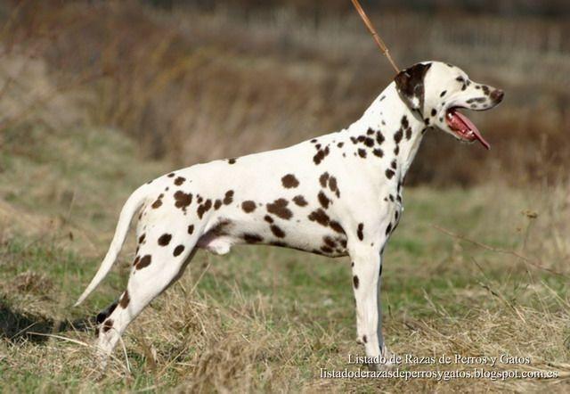 Listado de Razas de Perros y Gatos. Todos los tipos...: Raza de Perro Dalmata (Dalmatian)