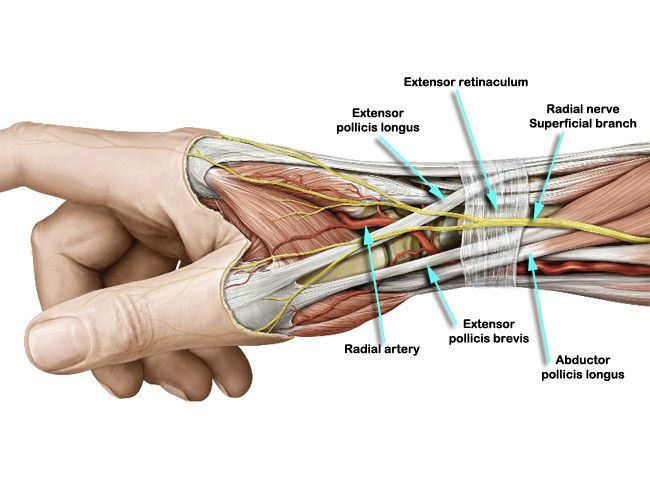 Radial Ligament Wrist is are most highly developed on palmar side of wrist. It is between the hand and the forearm on the radial side (the side with the thumb).These is an anatomy picture reference...