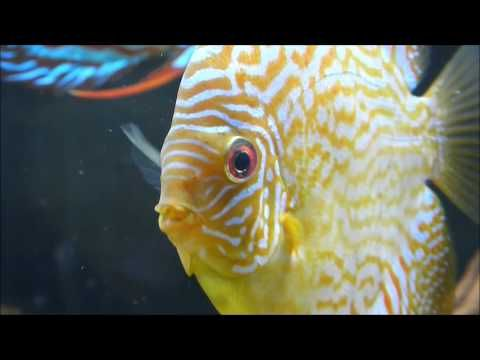 Discus Fish Secrets, Discus Fish Care And Breeding - YouTube